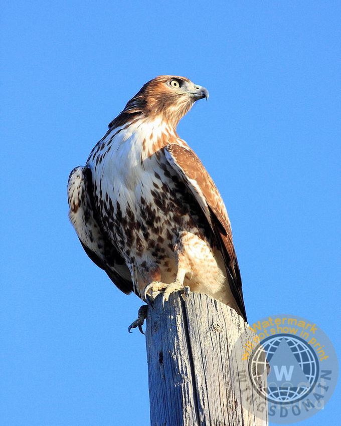 red tail hawk, animals, hawk, flying hawk, red-tailed hawk, red tailed hawk, wildlife, bird in flight, bird, avian, rth, flying hawks, raptor, hawk bird, hawk birds, hawks, bif, raptors, hunter, hunters, eye, eyes, bird, birds, regle, regal, red, tail, tailed, claw, claws, talon, talons, big, and, or, the, this, those, it, up, wing chee tong, wing tong, wingsdomain