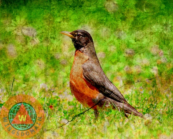 american, american robin, animal, animals, art, avian, aviary, bird, birds, buy, canvas print, fine art, for sale, framed print, greeting card, home decor, metal print, photograph, photography, portrait, portraits, poster, posters, print, prints, purchase, robin, robins, sell, spring, summer, texture, wall art, wall decor, wildlife, wing tong, wings domain, wingsdomain