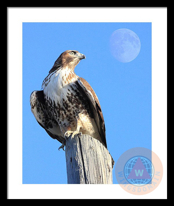 animal, animals, apogee moon, art, avian, bif, big moon, bird, bird in flight, buy, canvas print, fine art, flying hawk, flying hawks, for sale, framed print, full moon, greeting card, hawk, hawk bird, hawk birds, hawks, home decor, metal print, moon, moons, perigee moon, photograph, photography, portrait, portraits, poster, posters, print, prints, purchase, raptor, red tail hawk, red-tailed hawk, rth, sell, spring, summer, super full moon, wall art, wall decor, wildlife, wing tong, wingsdomain