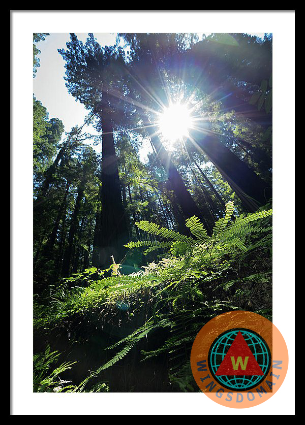 america, arcata, art, avenue of the giant, avenue of the giants, burlington, buy, california, canvas print, coast, coastal, englewood, eureka, fern, ferndale, ferns, fine art, fine art america, fineartamerica, for sale, forest, fortuna, framed print, garberville, giant, giants, greeting card, highway, home decor, humboldt, humboldt county, humboldt redwoods state park, imagekind, landscape, landscapes, log, logging, metal print, miranda, myers flat, norcal, northern california, old, park, parks, photograph, photography, pine, pine tree, poster, posters, print, prints, purchase, redbubble, redwood, redwoods, sell, sequoia, sequoia tree, sequoia trees, small, society 6, society6, sunburst, the, town, towns, tree, trees, united states, usa, wall art, wall decor, weott, west coast, wilderness, wing tong, wingsdomain, zazzle